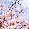渡辺みり愛高校卒業おめでとう企画 〜桜を贈ろう〜 [改訂版]