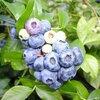 ブルーベリーだけじゃない、アントシアニンを多く含むフルーツ