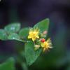 ヒペリカムの黄色い花と赤い実4(秋田県秋田市)