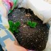 春じゃがいもの発芽。プランター、袋、畑の3パターンでの栽培方法で成長は変わるかな?