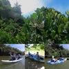 マングローブの花の季節
