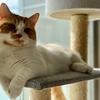【猫学】短足マンチカンにおすすめのキャットタワー