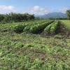 トマト初収穫は一玉
