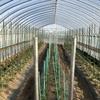 トマト栽培、はじめました