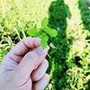 多摩川の野草を摘んで野草料理!