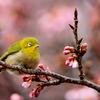 【一眼レフ】新宿御苑で春の訪れを撮影