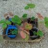 イチゴの苗を植え付けました