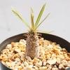 グラキリスの実生 種まきから1年後の成長記録 1歳