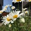 モンシロチョウが羽化して、グリーンネックレスの花が咲いた日