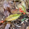 「佐久の季節便り」、「スズラン(鈴蘭)」も「ホオズキ(鬼灯)」も葉が霜枯れました。