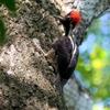 ベリーズ アルツンハの Lineated Woodpecker(リニエイテッド ウッドペッカー)