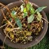 【ネジバナ】ネジバナ鉢植えの不思議