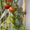 ベランダ家庭菜園2021