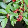 「佐久の季節便り」、秋の大雨、木の実も完熟して…。