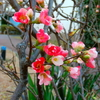 きょうの収穫 ボケの花