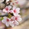 桜の心は「日本の心」そのもの