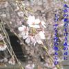さくら咲く !  (^0_0^)