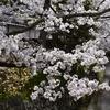 哲学の道を散策しながら何思う(Kyoto,Tetsugaku-no-michi,Philosopher's Walk)