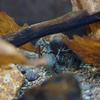ニホンザリガニ Cambaroides japonicus