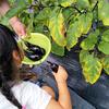 野菜の収穫は子供たちのイベントです