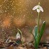 春を告げる花 スノードロップ