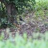 雨に降られて今季初コルリ(大阪城野鳥探鳥 2015/08/29 5:15-12:45)