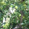 いきなり夏、カンカン照り+強熱風のせいで、リンゴ袋かけ作業は