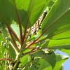 アゲハ蝶の朝と今日のおかず