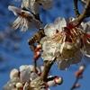 春来たりなば~桂木観音、越生梅林の定番コース