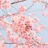 桜の開花から満開までの最短記録が0日ってホント?