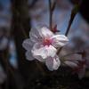 大岡川桜探訪 #4