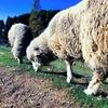 北海道を好きになった理由、それは羊を追いかけたらたどり着いた先だったから。