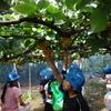 3年生 梨収穫体験