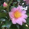 山茶花の咲く季節
