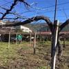 自然栽培葡萄園を始めます!