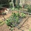 自宅の野菜たちに支柱を設置しました