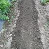 キャベツの苗を植える準備