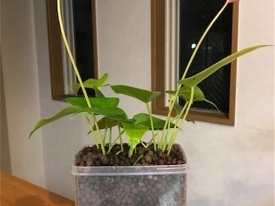 毎年咲くシリーズ(ホメリア)、ハイドロボールで水栽培のアンスリューム〜どちらもお手軽♪〜