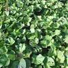 サツマイモ(安納芋、紅はるか、シルクスイート)の収穫