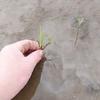 田植えのピーク。