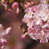 蝶屋「桜の名所」(後編)