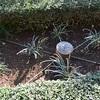 日時計の庭のチューリップ球根植え
