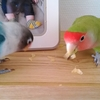 インコとフルーツ
