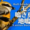 モズの鳴き声【野鳥図鑑・鳴き声図鑑】Lanius bucephalus Shrike