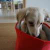 【チワックス】子犬から成犬へ。大きさはどのくらい?成長過程を記録。性格やしつけ、月毎の体重推移や画像もアリ・生後3か月4か月5か月6か月7か月8か月9か月10か月