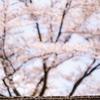 城ヶ山公園:八尾の桜(2)