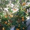 オレンジ豊作