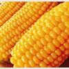トウモロコシは野菜?穀物?糖質量は?驚愕の事実!