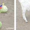 サッカーW杯ロシア大会で予言ヤギの『ボリス』がHグループを占う!1位はセネガル・2位は日本らしいが、これは大穴攻めすぎwww