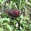タカサゴマシコ(Taiwan Rosefinch)